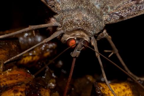 Nellu Mazilu, moth